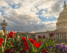 US Capitol Building with Tulips